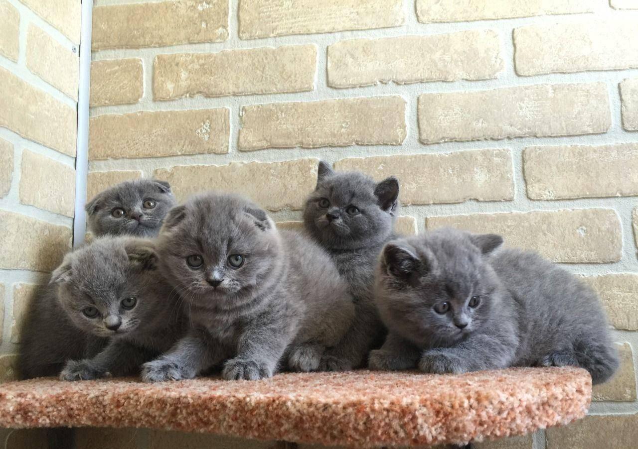 Чем кормить и как ухаживать за британскими котятами: полезные рекомендации