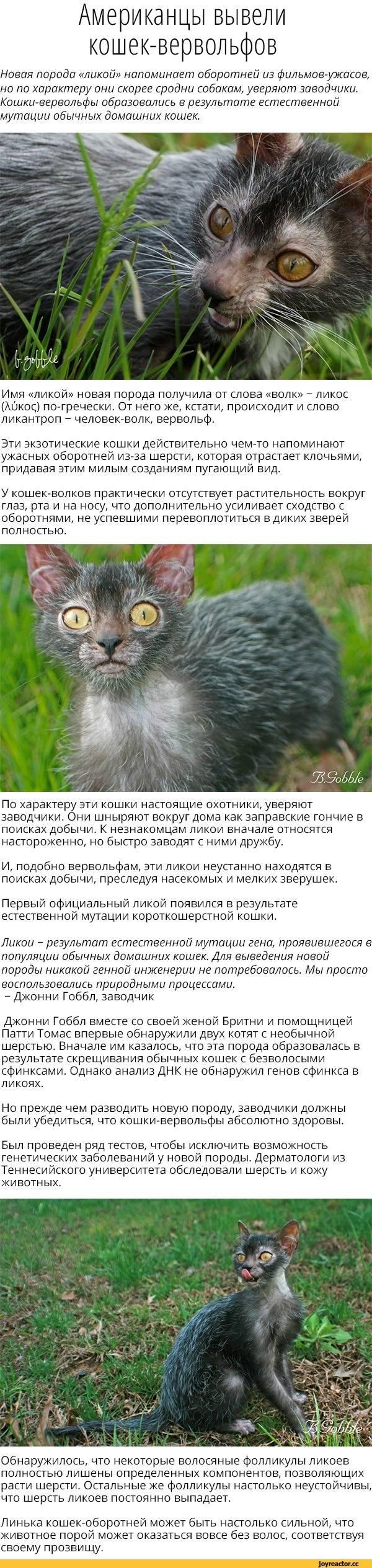 Ликой – кошка-оборотень