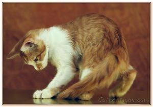 Почему кошки виляют хвостом: причины, как понять настроение