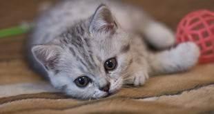 Половое созревание у котов - возраст. запах от кота в квартире. стоит ли кастрировать кота? инстинкт продолжения рода, или cексуальные кошачьи проблемы