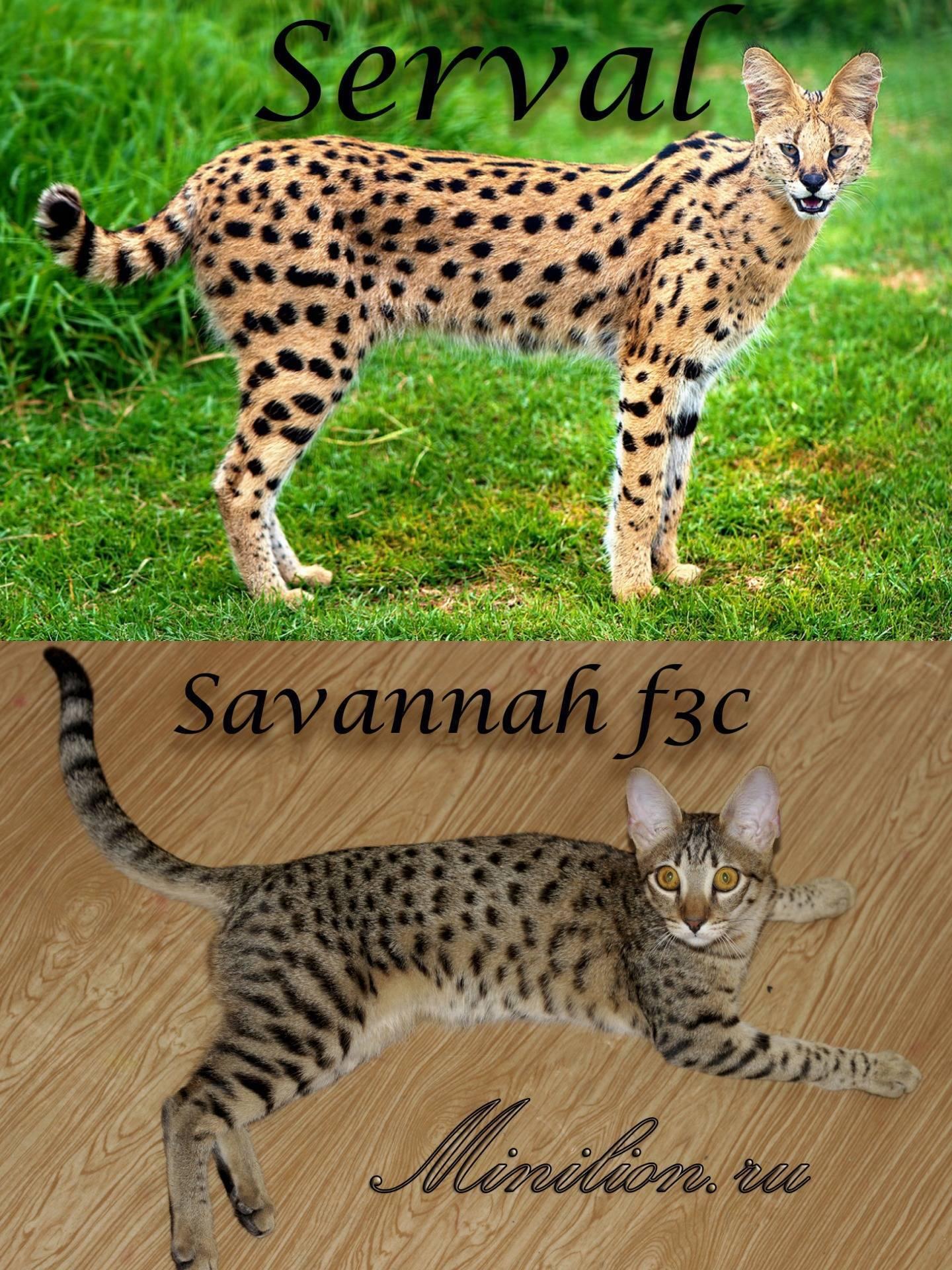 Саванна: описание породы, особенности характера и содержания