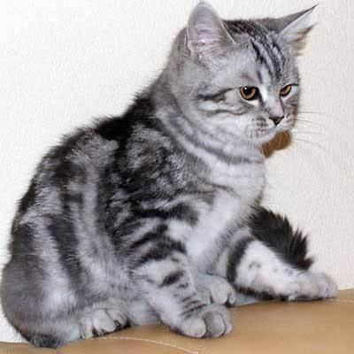 Кошка сильно линяет? причины и рекомендации. в какое время линяют британские кошки