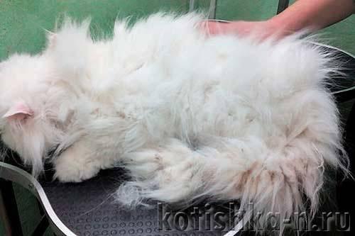Колтуны у кошки: причины появления, как расчесать или убрать в домашних условиях, обзор инструментов для борьбы со сваленной шерстью у котов
