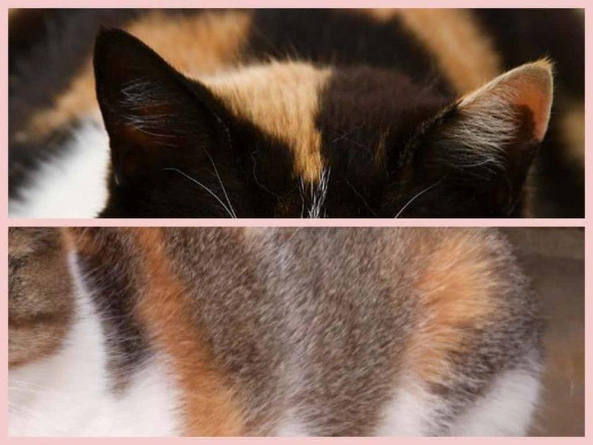 Трехцветные кошки | бывают ли трехцветные коты, есть ли, приметы