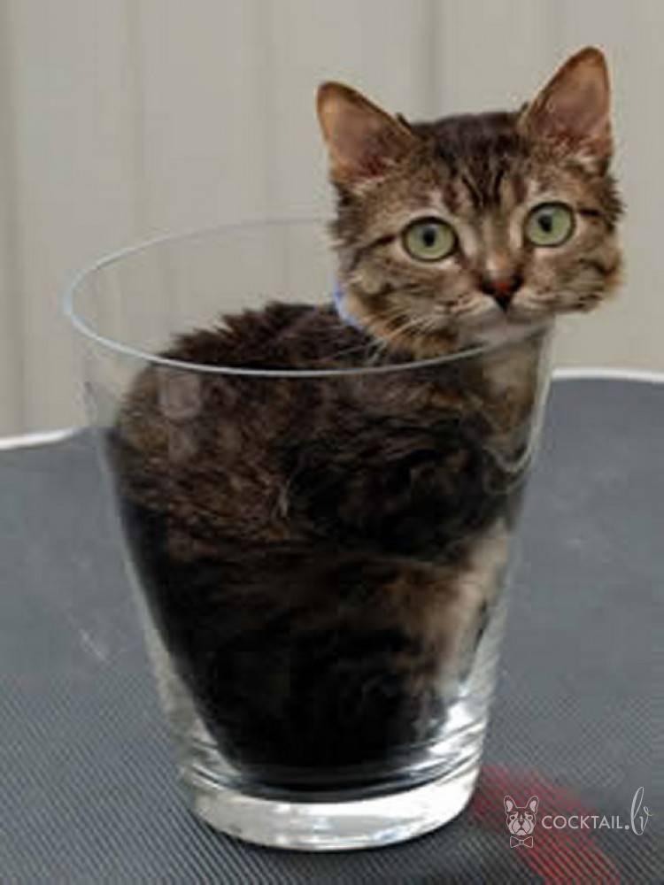 Сингапурская кошка – характеристика породы, описание характера, советы по уходу и содержанию
