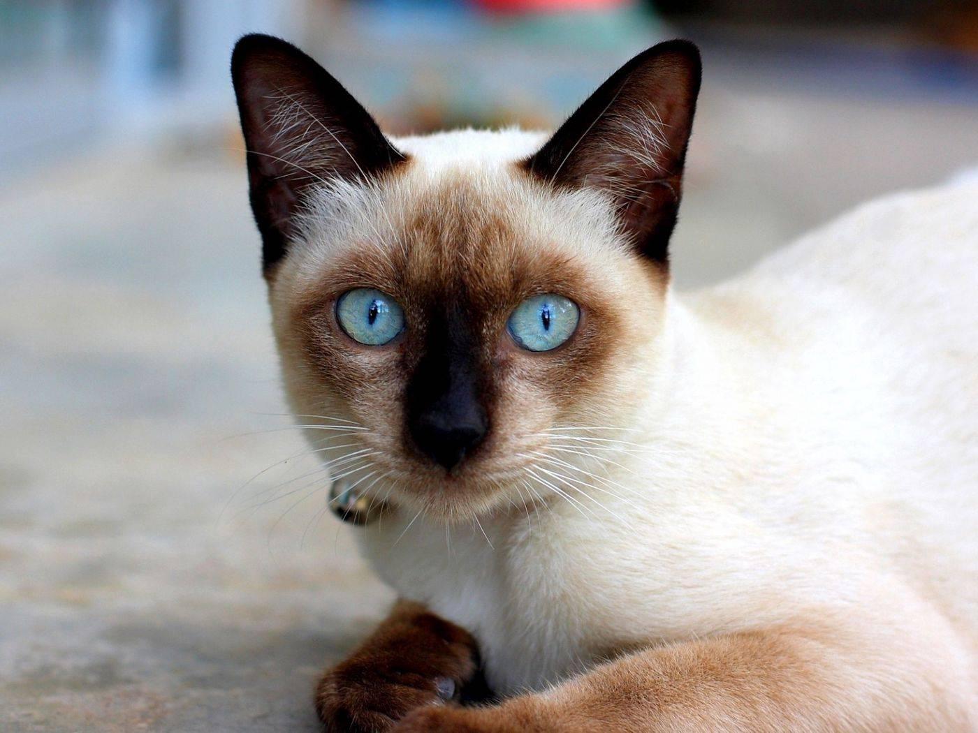 Сколько живут сиамские кошки – продолжительность жизни кошки
