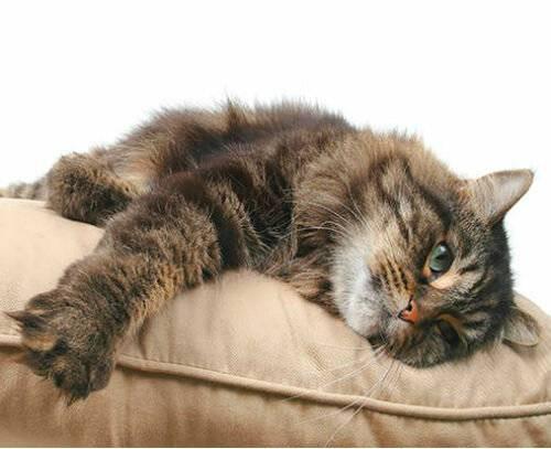 Описание болезней, которыми часто страдают шотландские вислоухие кошки