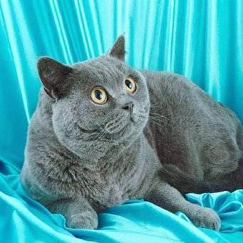 Сколько живут коты британцы