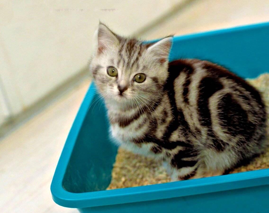 Как приучить котенка к лотку быстро: если гадит везде