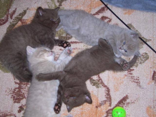 В каком возрасте можно отдавать котят. когда можно забирать котенка от кошки в каком возрасте котят отлучают от матери