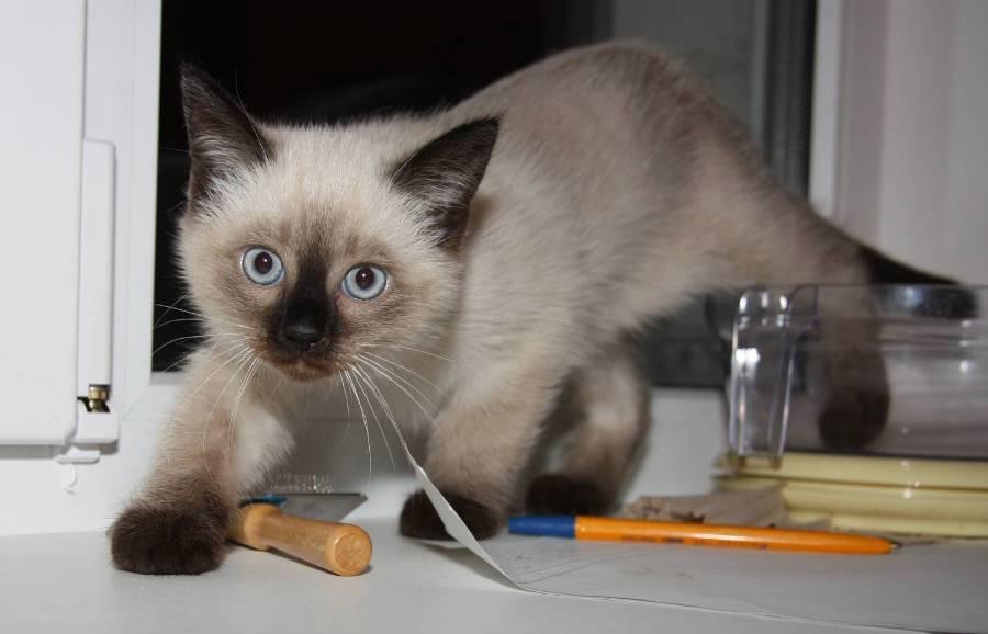 Как правильно кормить сиамского котенка: натуральные и промышленные корма, «возрастные» особенности рациона