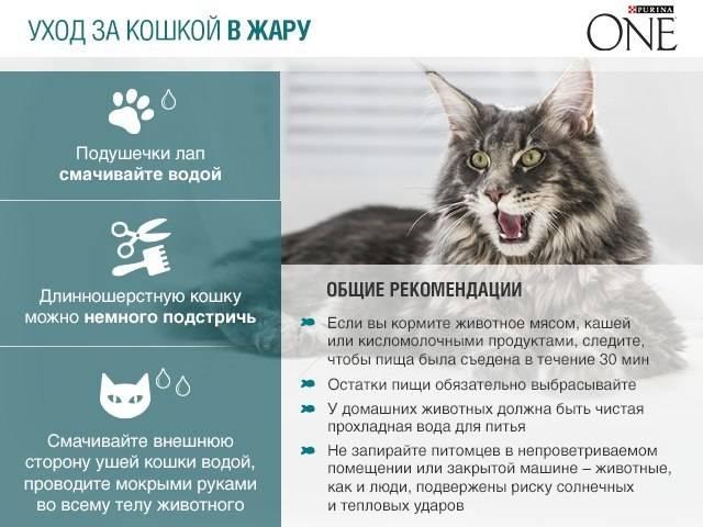 Правильный уход за персидской кошкой