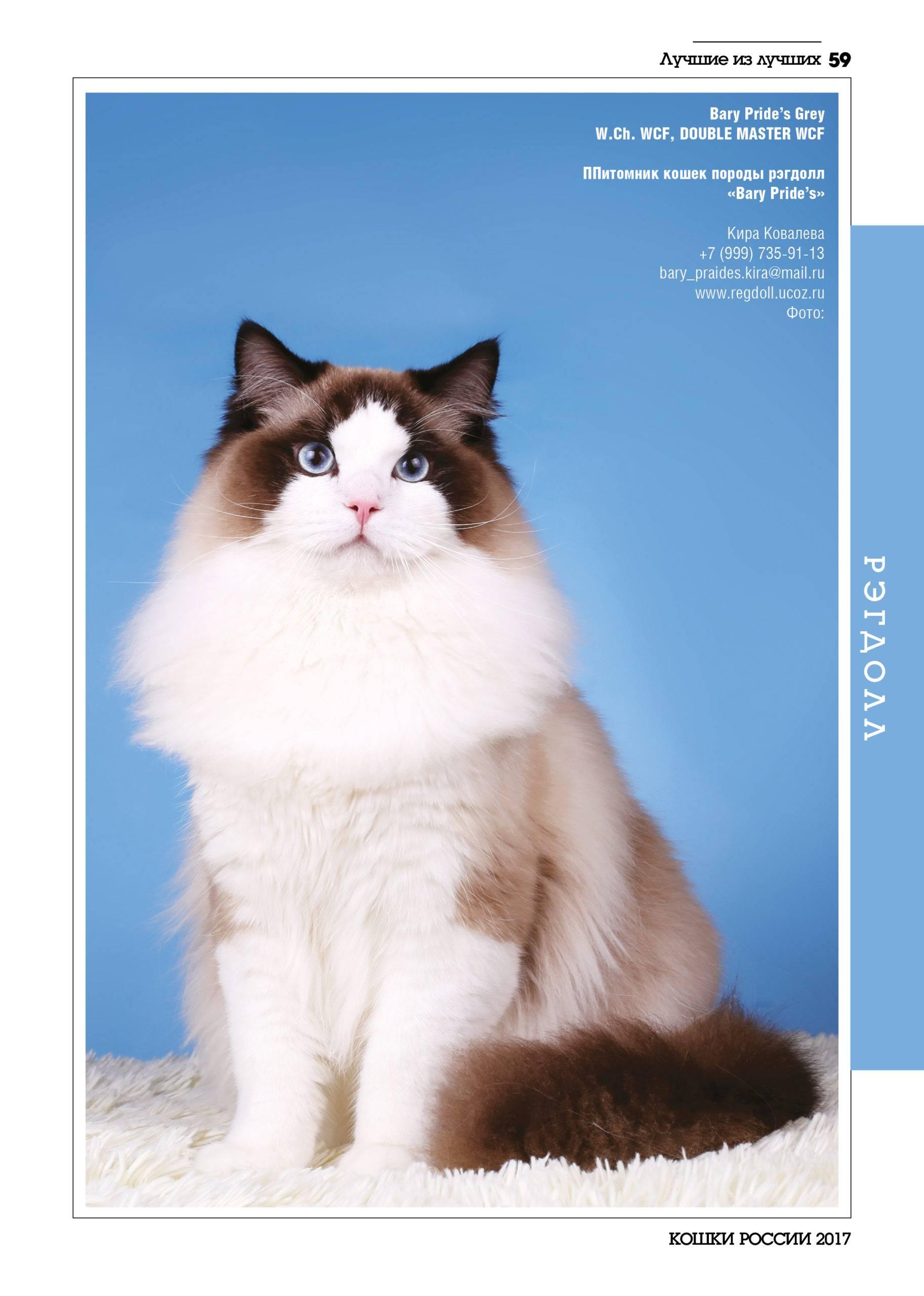 Рэгдолл (фото): порода добродушных кошачьих гигантов из америки