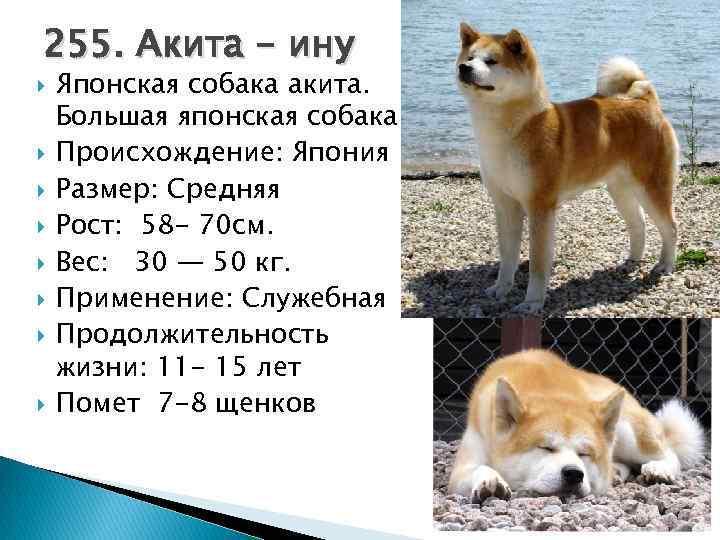Какие отзывы владельцев об акита-ину: насколько активна собака и каким людям подходит