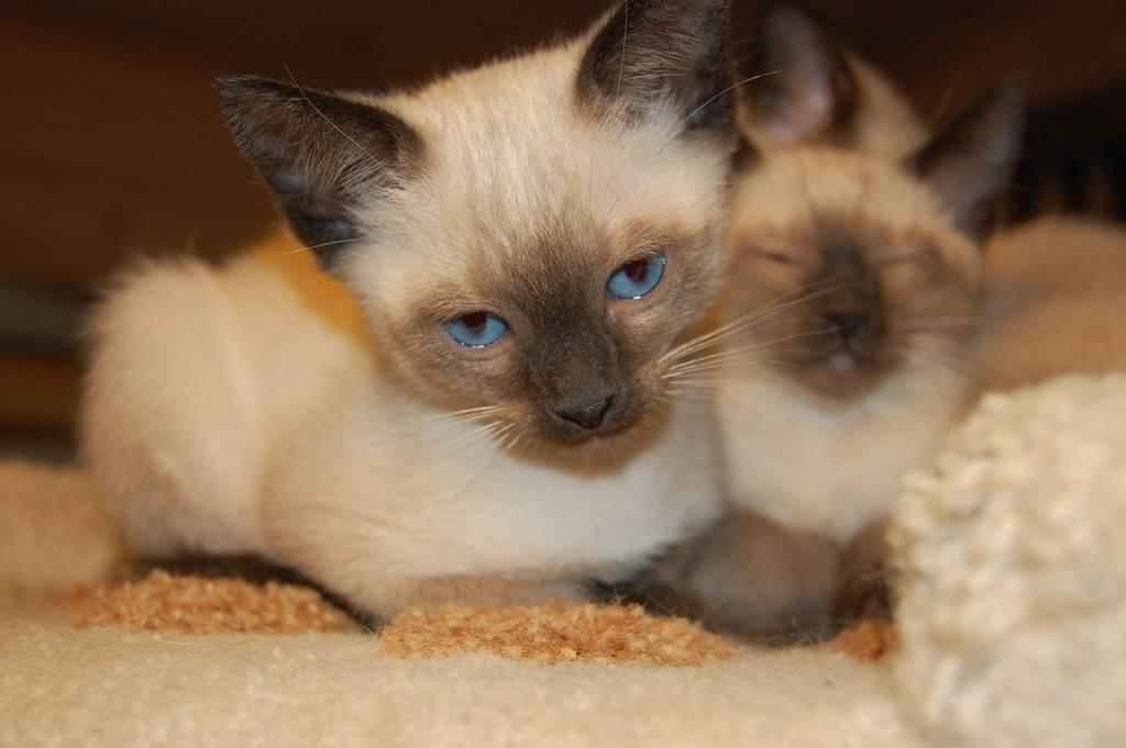 Сиамские котята: все, о чем нужно знать будущим владельцам