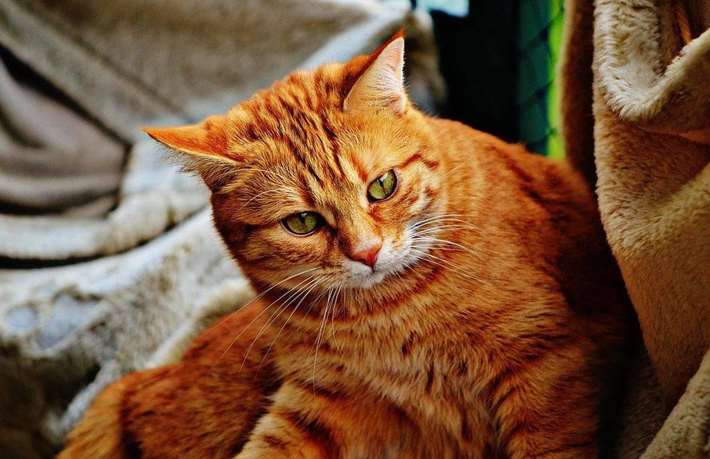Приметы и суеверия: рыжий кот пришел в дом, приблудился или прибился и другие приметы про рыжего кота
