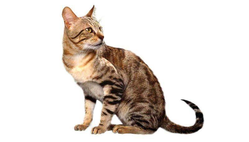 Сококе – кошка из кенийских лесов