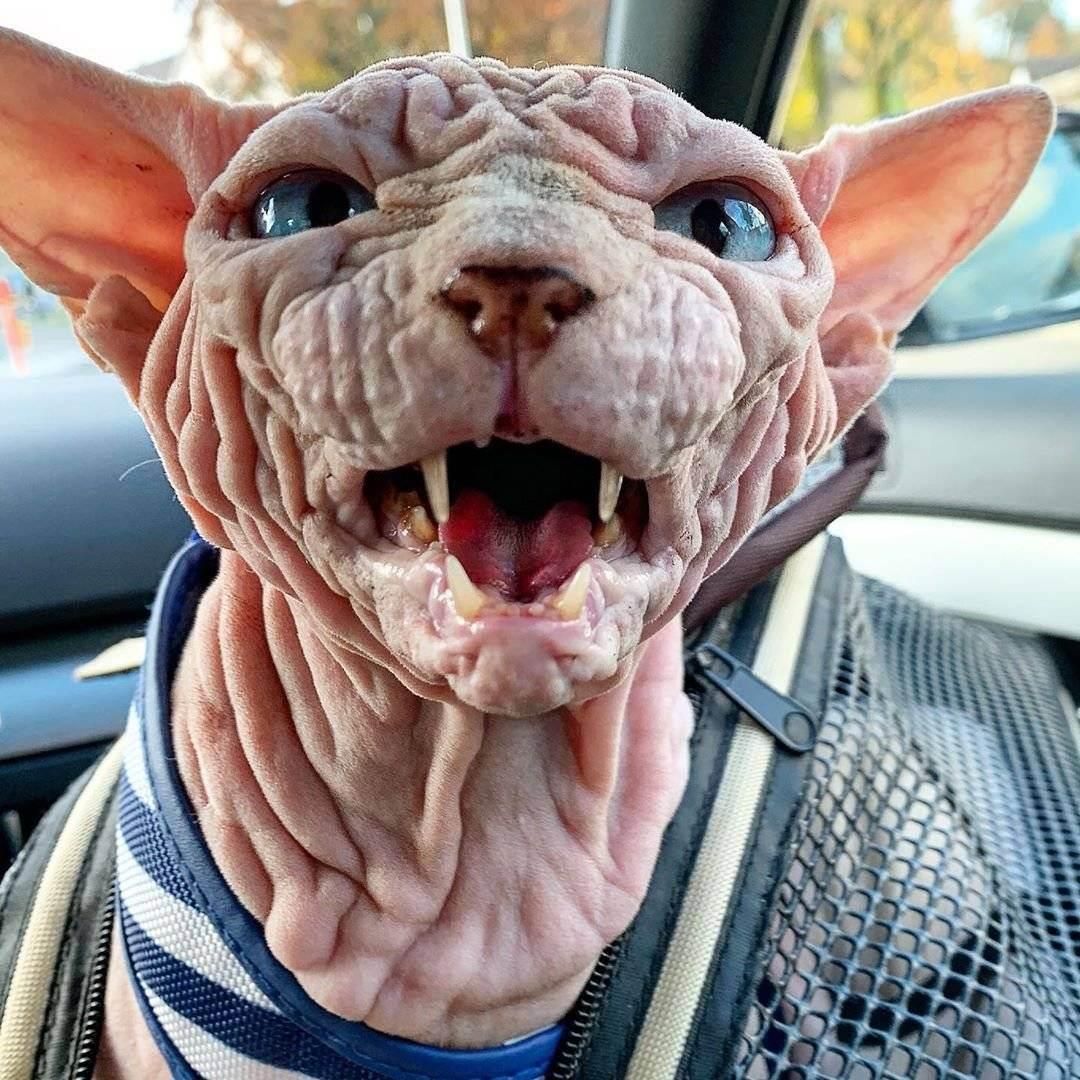 Кошка-химера (14 фото): описание самых красивых двуликих котов. почему их боятся?