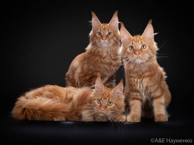 Котята мейн кун-стоимость породы и уход, фото, видео
