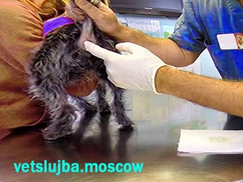 Как чистить параанальные железы у кошек. непростое параанальное воспаление у кошки — опасная патология