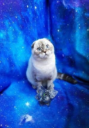 Какие окрасы бывают у кошек шотландской породы