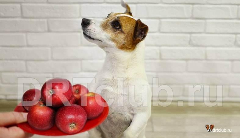 Можно ли собакам кушать яблоки, в моем случае лабрадору-ретриверу.