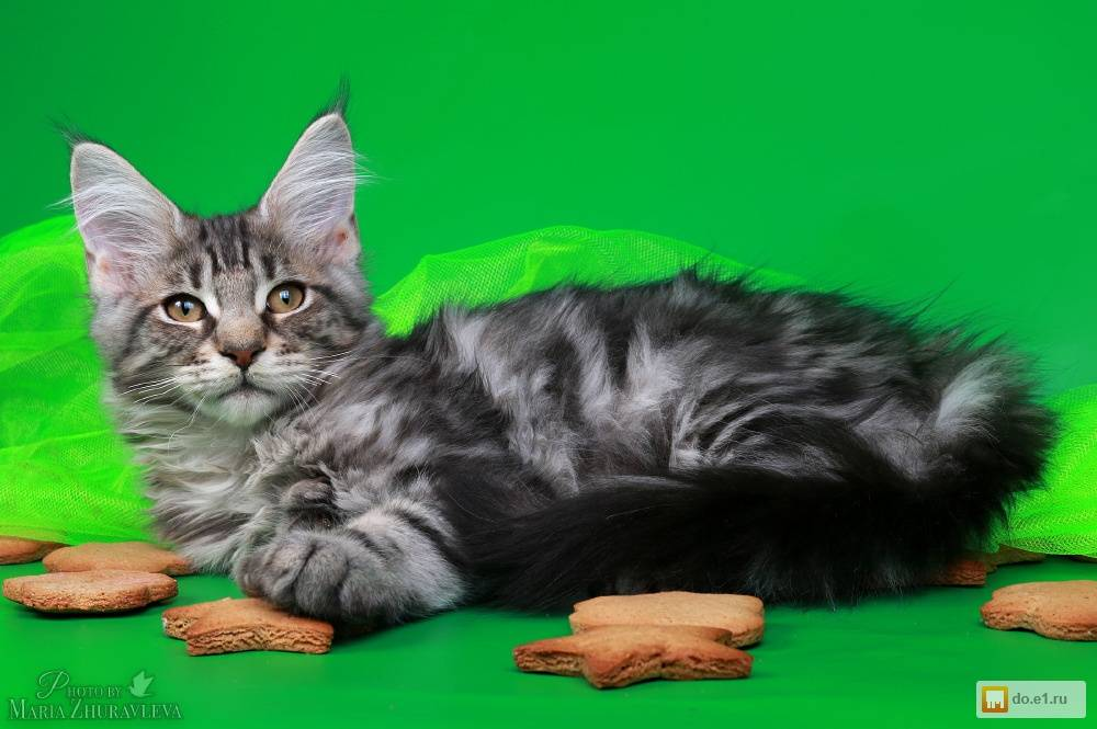 Мейн-кун полидкат: что это значит и фото как выглядит кот