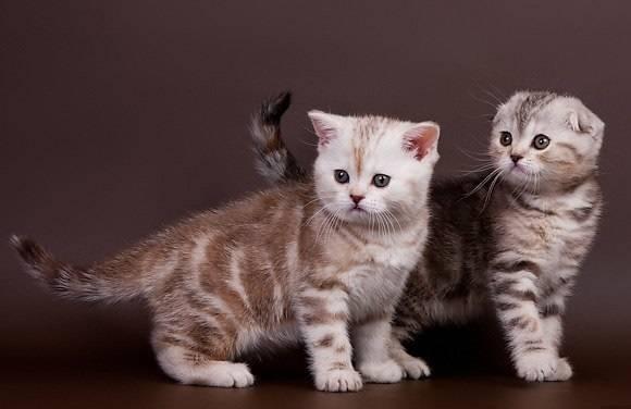 Как правильно выбрать подходящее имя для шотландского котенка