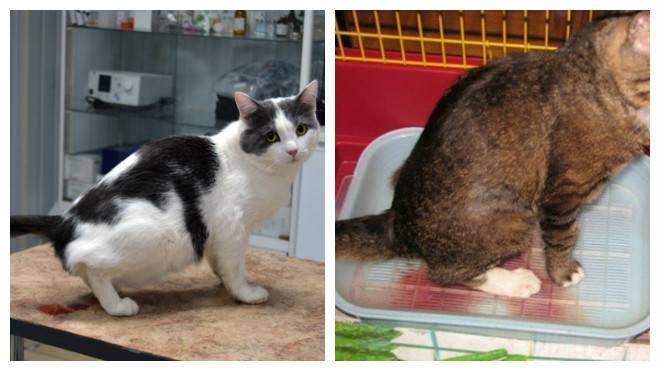 Цистит у кошек и котов: симптомы и лечение в домашних условиях
