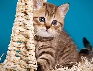 Имя коту британцу. как назвать кота британца мальчика.