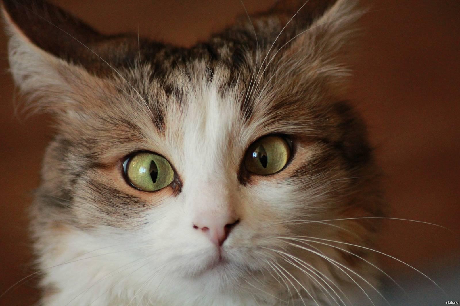 Косоглазие у кошек (страбизм): причины, лечение, видео