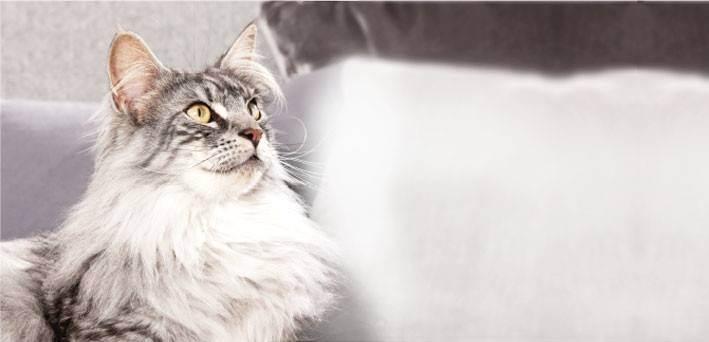 У кошки ушной клещ и особенности лечения в домашних условиях