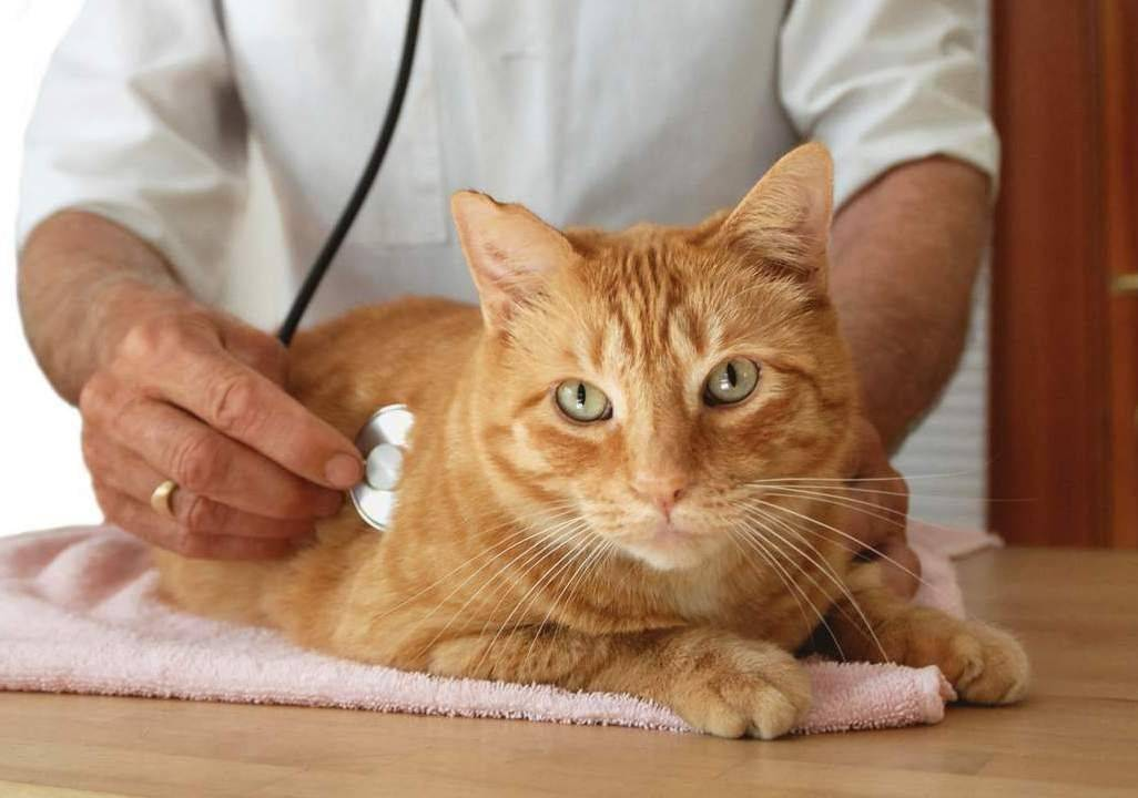 Возможен ли кашель у кошек при глистах: причины и методы лечения