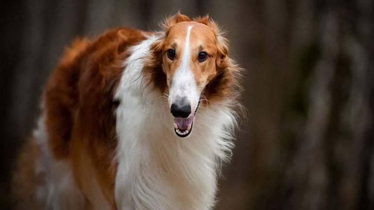 Собака борзой породы: описание и фото
