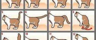 В каком возрасте начинается первая течка у кошек: на каком месяце?