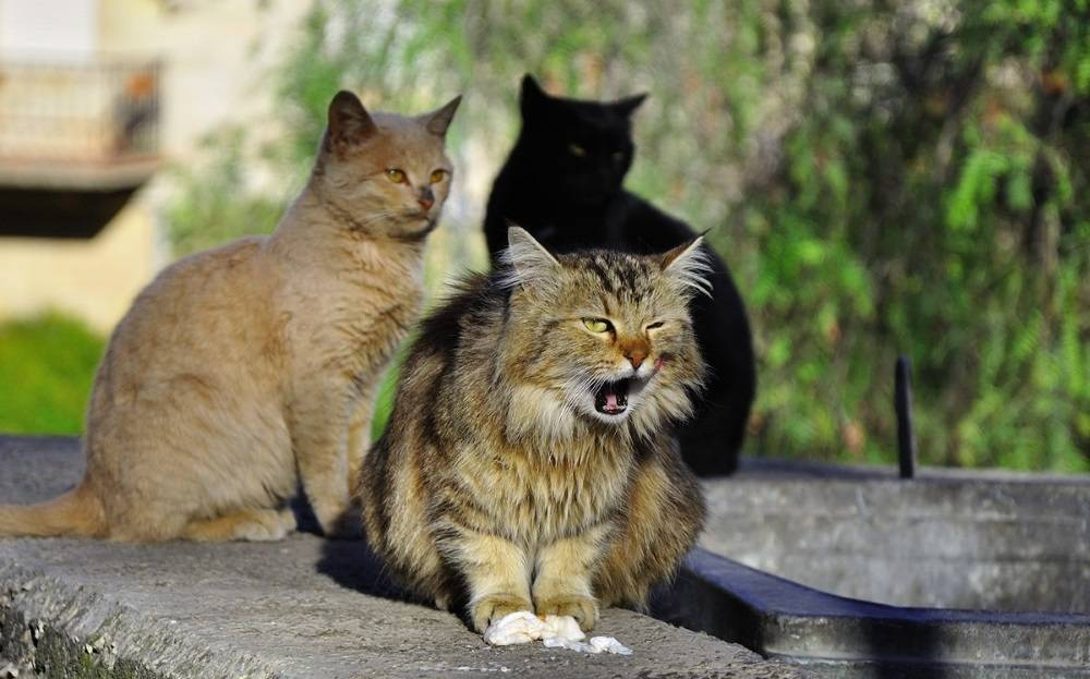 Красивые но хитрые: достоинства и недостатки беспородных кошек — 4 лапки