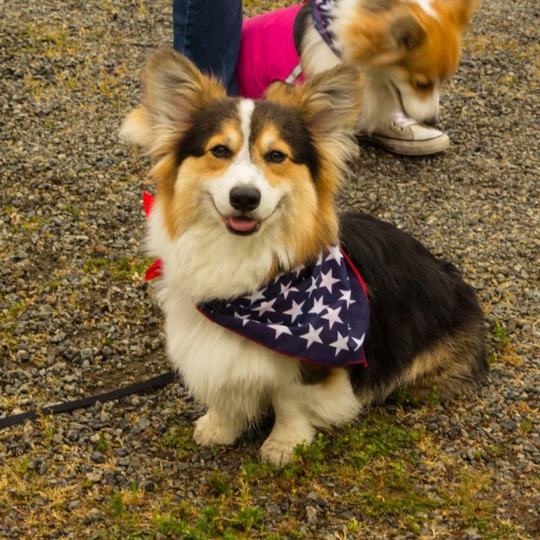 Вельш-корги пемброк: фото собаки, цены и описание породы