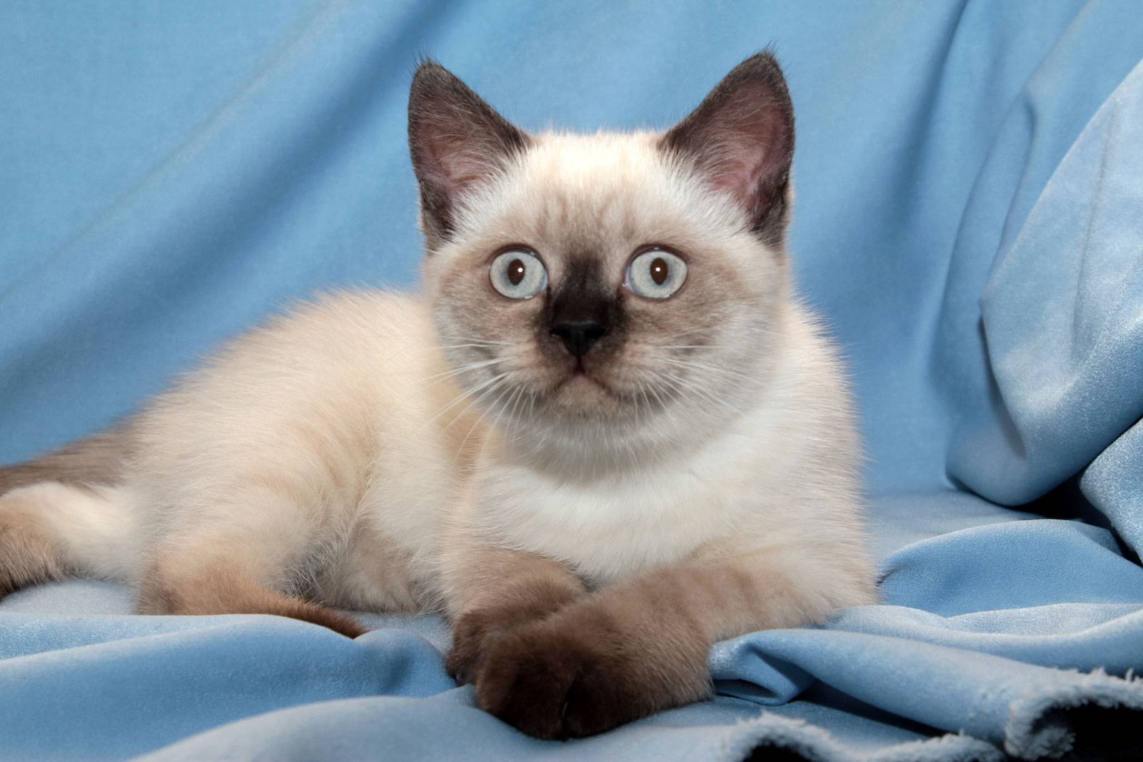 Тайская кошка: описание породы и характера. что нужно знать