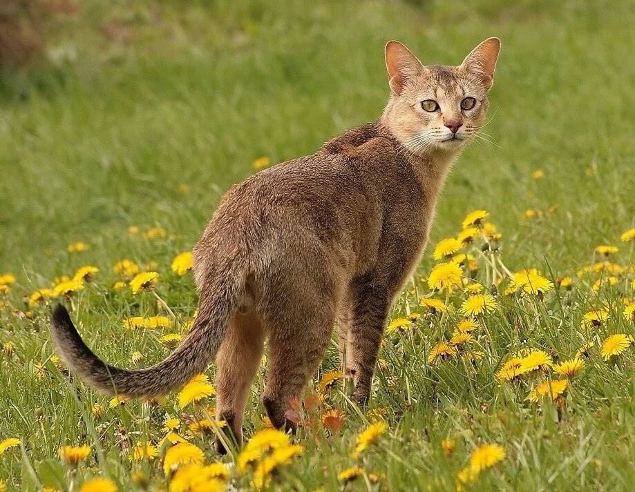 Кошка сноу-шу: фото и описание породы, особенности содержания, советы по выбору котят
