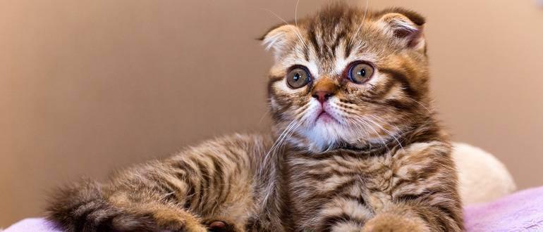 Как приучить котенка к лотку за шотландским котенком
