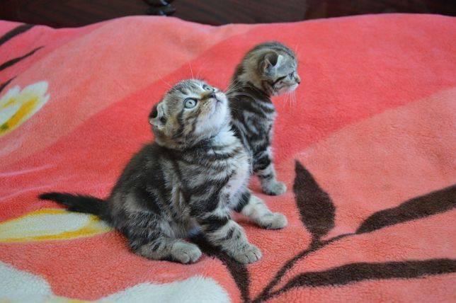 Шотландская кошка: скоттиш страйт и скоттиш фолд