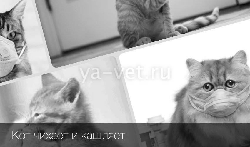 Кот чихает: причины и чем лечить – советы ветеринаров клиники питомец