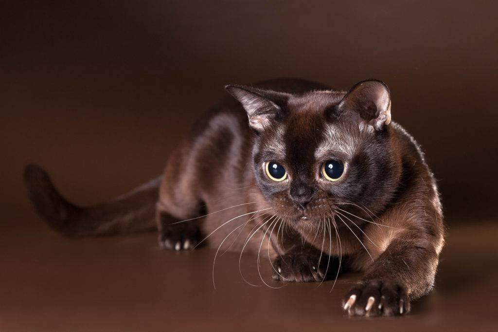 Кошка сноу-шу: повадки, внешний вид и особенности содержания