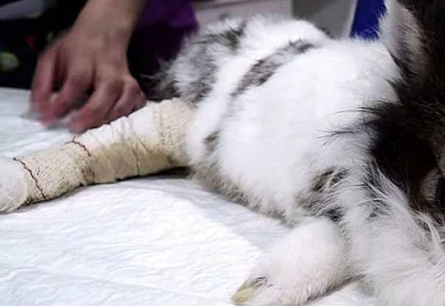 Перелом лапки у котенка лечение в домашних условиях