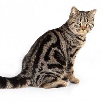 Жирная шерсть у кошки: причины и методы лечения