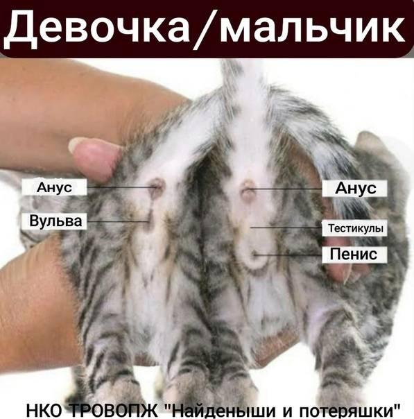 Как определить пол кота по внешним признакам и особенностям поведения?