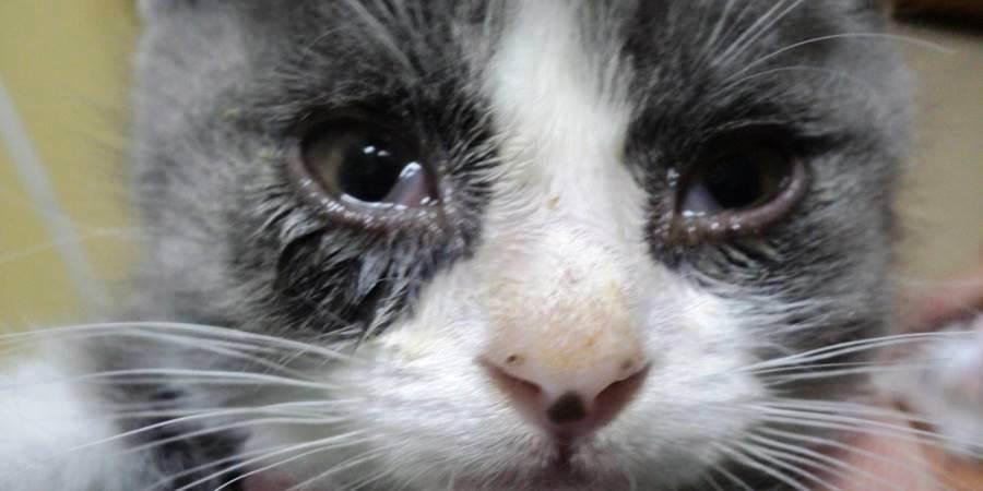 Почему у котенка слезятся глаза шотландец | что говорят насекомые