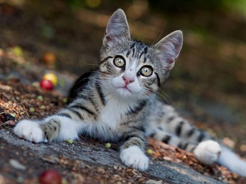 Полосатый кот: характер, породы и народные приметы