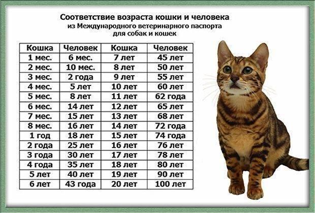 Возраст кошки по человеческим меркам (27 фото): таблица соответствий. определяем, сколько лет коту в соотношении с человеком
