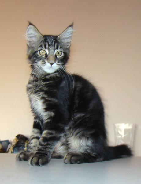 Котенок мейн-кун в 2 месяца: фото, чем кормить, вес и размер.